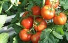 Сорт томата: Павлинка f1