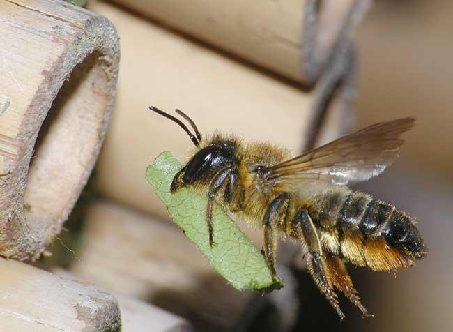 Пчела-листорез лоскутковая