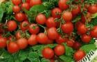 Сорт томата: Пигмей