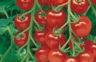 Сорт томата: Пиколино f1