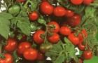 Сорт томата: Пиноккио