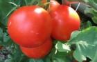 Сорт томата: Пируэт f1