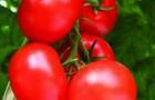 Сорт томата: Полтава f1