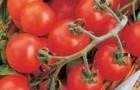 Сорт томата: Попугайчик f1