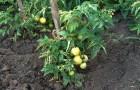 Сорт томата: Приморец