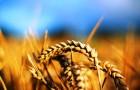 Пшеница-убийца