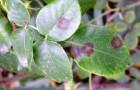 Пятнистость листьев