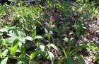 Пыльцеголовник длинноприцветниковый