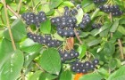 Сорняк — арония (черноплодная рябина)