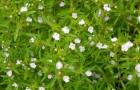 Сорняк — чабер садовый