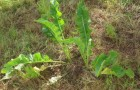 Сорняк — хрен обыкновенный