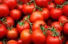 Сорт томата: Ваня f1