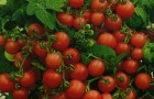 Сорт томата: Вершок