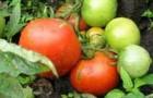 Сорт томата: Весенний хоровод