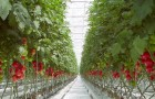 Сорт томата: Вестланд f1
