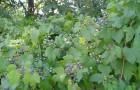 Виноградовник японский