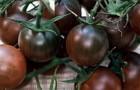 Сорт томата: Вишенка черная