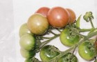 Сорт томата: Вишенка розовая
