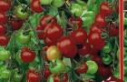 Сорт томата: Вишня королевская