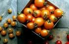 Сорт томата: Водопад