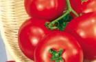 Сорт томата: Волгоградец