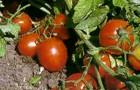 Сорт томата: Волжский f1