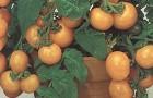 Сорт томата: Жемчужинка
