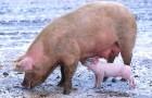Заболевание свиней – Хламидиоз