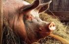 Заболевание свиней – Мухи
