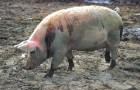 Заболевание свиней – Сальмонеллез