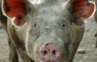 Заболевание свиней – Саркоптоз