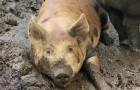 Заболевание свиней – Стронгилоидоз