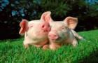 Заболевание свиней – Трихоцефалез