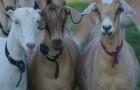 Заболевания коз, связанные с неправильным кормлением – Отравления