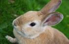Заболевания кроликов – Инфекционный ринит