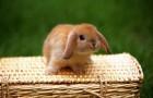 Заболевания кроликов – Миксоматоз