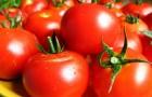 Сорт томата: Заря востока