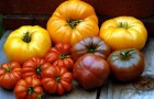 Сорт томата: Застольный