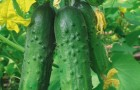Сорт огурца: Зеленая волна f1