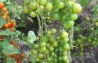 Сорт томата: Зеленушка f1