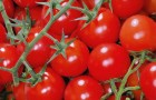 Сорт томата: Зимняя вишня f1