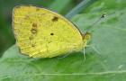 Зорька желтоватая