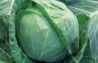 Сорт капусты белокочанной: Адема рз f1