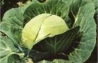 Сорт капусты белокочанной: Адмирал f1