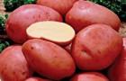 Сорт картофеля: Алена