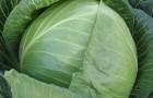 Сорт капусты белокочанной: Амазон f1