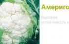 Сорт капусты цветной: Америго f1