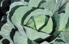 Сорт капусты белокочанной: Аммон f1