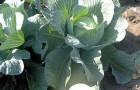 Сорт капусты белокочанной: Амтрак f1