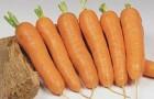 Сорт моркови: Анастасия f1